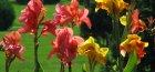 Цветы канны на фото