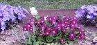 Как ухаживать за цветком примула