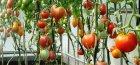 подкормка томатов в теплице