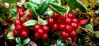 выращивание брусники