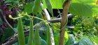 Выращивание стручковой фасоли – некоторые тонкости