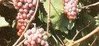 Днестровский розовый