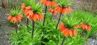 Цветок рябчик императорский