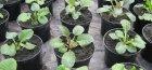 выращивание примулы из семян