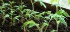 замачивание семян перца