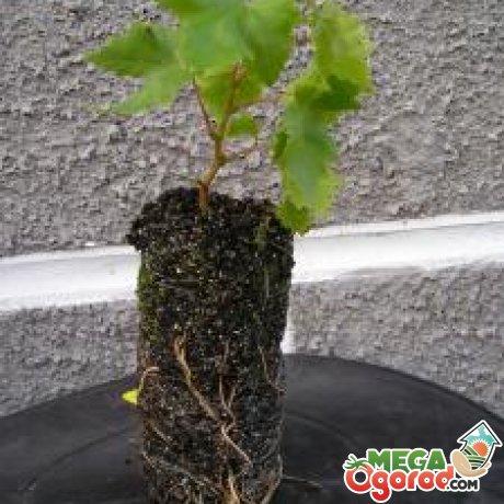 Как размножить виноград черенками