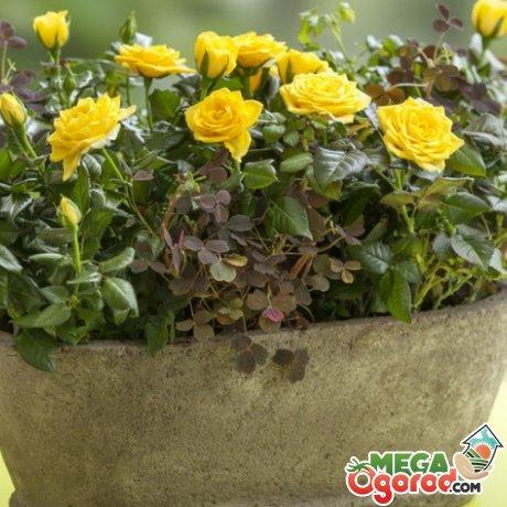 Рекомендации по уходу за розой – полив и подкормка