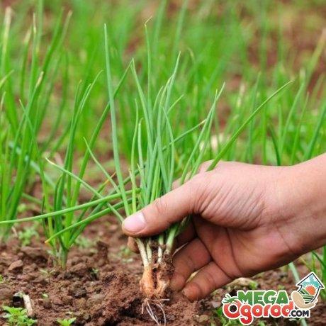 Несколько советов о выращивании