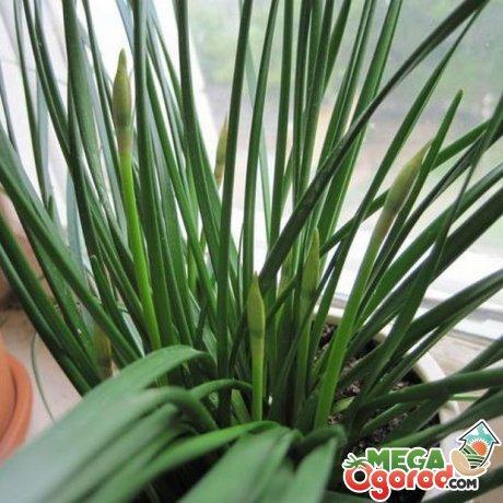 Проблемы при выращивании зефирантеса
