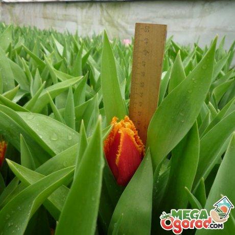 Выгонка тюльпанов Фабио
