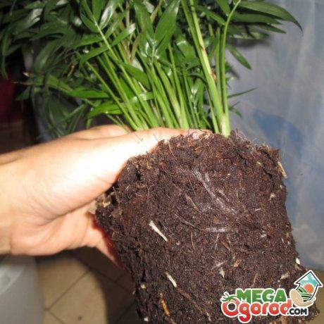 Как правильно пересаживать растение