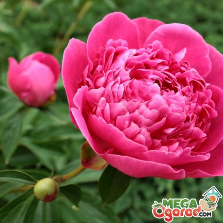 Уход за садовым растением для хорошего цветения