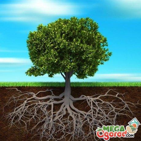 Строение корневой системы ясеня
