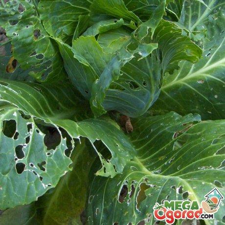 Болезни и вредители овоща
