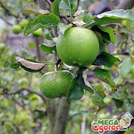 Правила выращивания и ухода за яблонями зеленых сортов