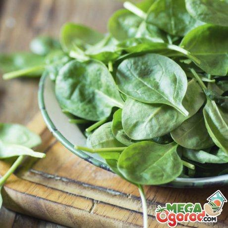 Вред и противопоказания по употреблению шпината