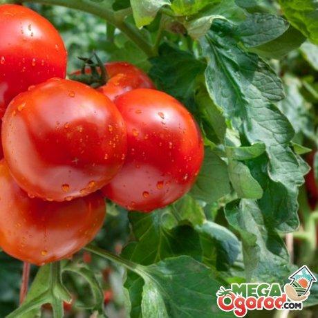 Лучшие предшественники для помидор
