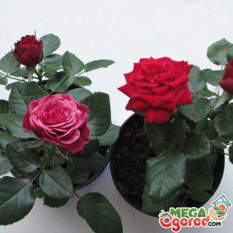 Основные болезни и вредители декоративного растения, методы борьбы с ними