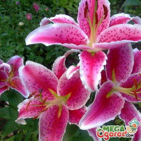 Цветы лилия