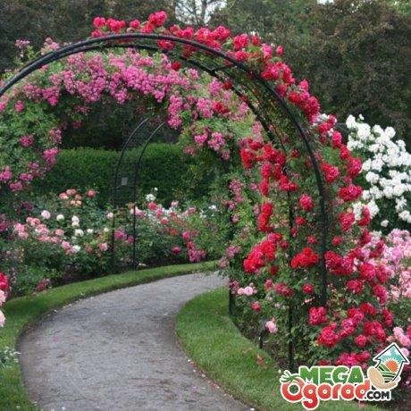 Выращивание и уход за розой на арке