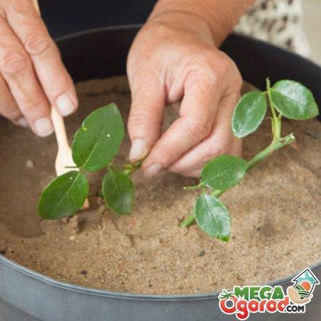 Укоренение черенка – важный этап в развитии растения