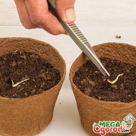 Посадка семян после проращивания