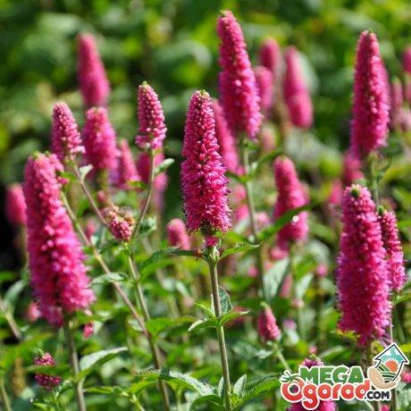 Вероника цветок