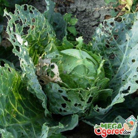 Вредители капусты и борьба с ними
