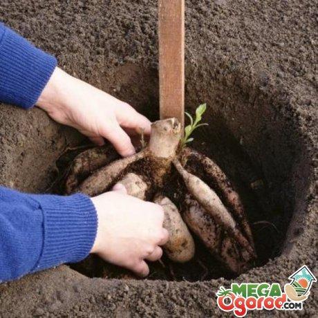 Как высаживают клубневые