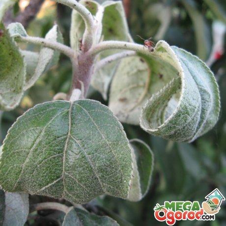 Болезни и вредители яблоневого сада