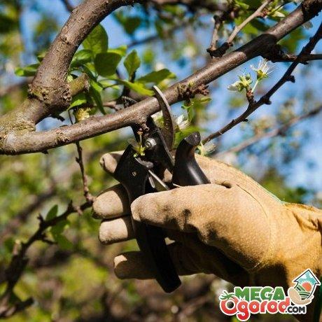 Обрезка и формирование кроны вишни