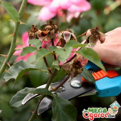 Рекомендации по уходу за кустами розы Джон Дэвис