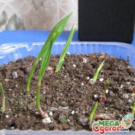 Как можно размножать пальму