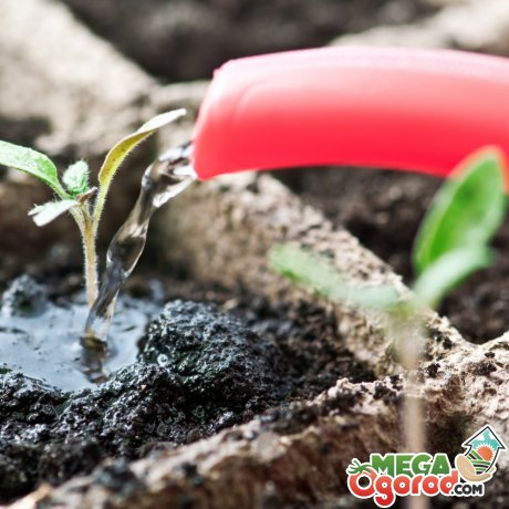 Как правильно вырастить рассаду помидор
