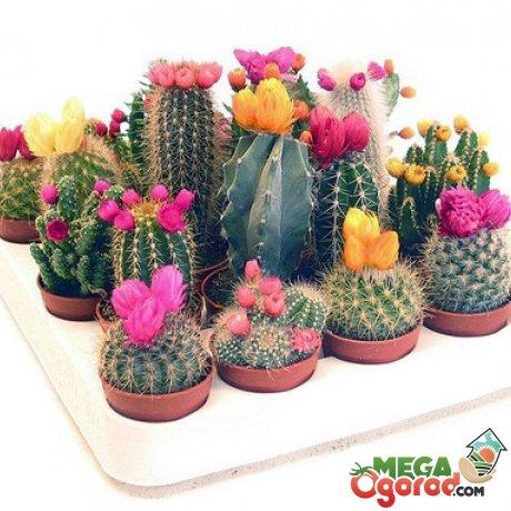 Классификация кактусов