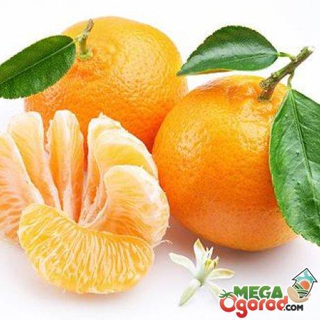 Другие способы размножения мандаринового дерева