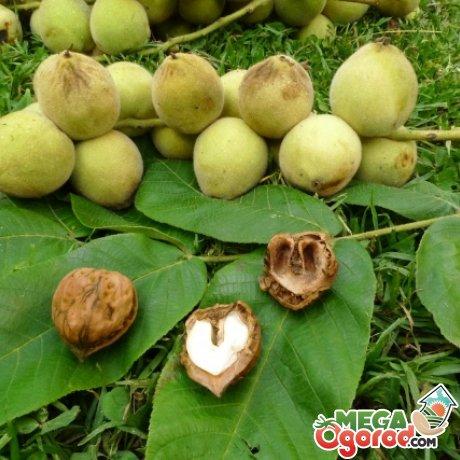 Болезни и вредители маньчжурского ореха