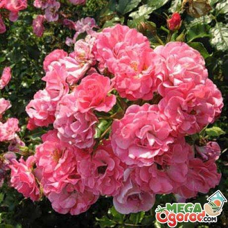 История садовых роз