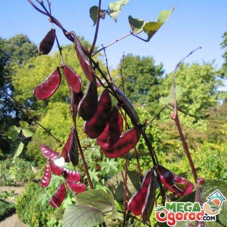 Гиацинтовые бобы - популярные сорта, правила выращивания и применение