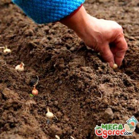 Лук многоярусный: характеристика, размножение, посадка и советы по уходу за овощем