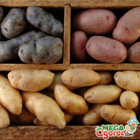 Какие сорта картофеля лучше выбирать для хранения