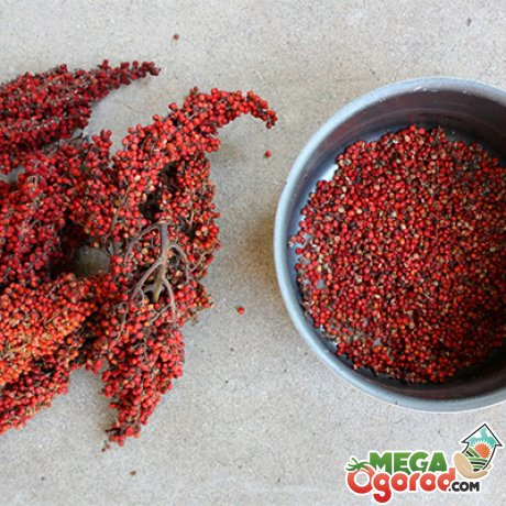 Полезные свойства и противопоказания к употреблению плодов сумаха