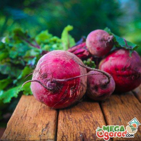 Сбор урожая, способы хранения корнеплода