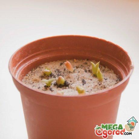 Посадка кактусов семенами