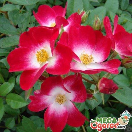 Происхождение мускусных роз
