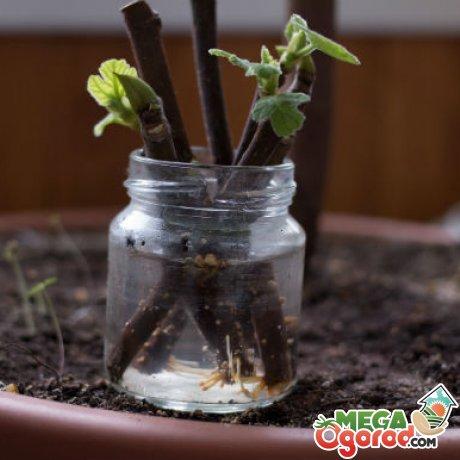 Выращивание инжира в домашних условиях: сорта, размножение и уход