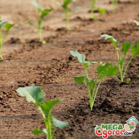 Цветная капуста выращивание в открытом грунте