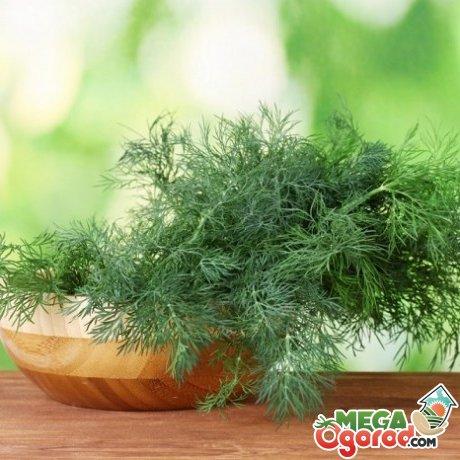 Выращивание зелени в домашних условиях: лук, салат, петрушка и укроп