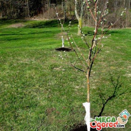 Какие сорта яблони лучше посадить весной, как правильно это сделать