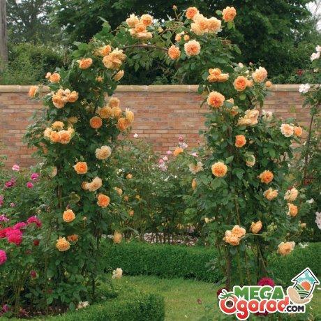 Правильная посадка роз и размножение